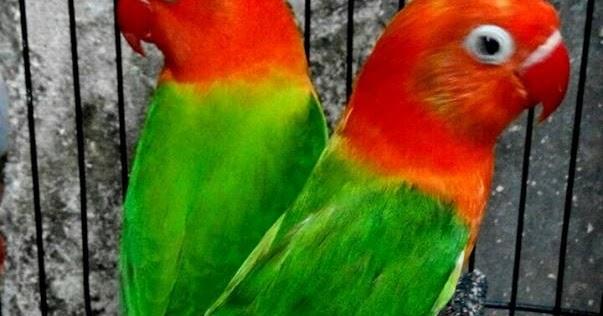 harga-burung-lovebird-biola